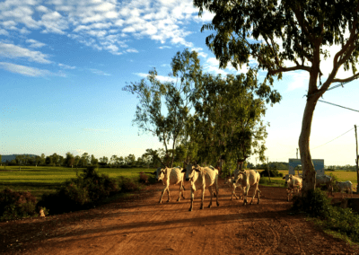 Cambodian Cows